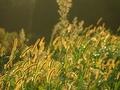 夕日に照らされるネコジャラシ@京都越畑
