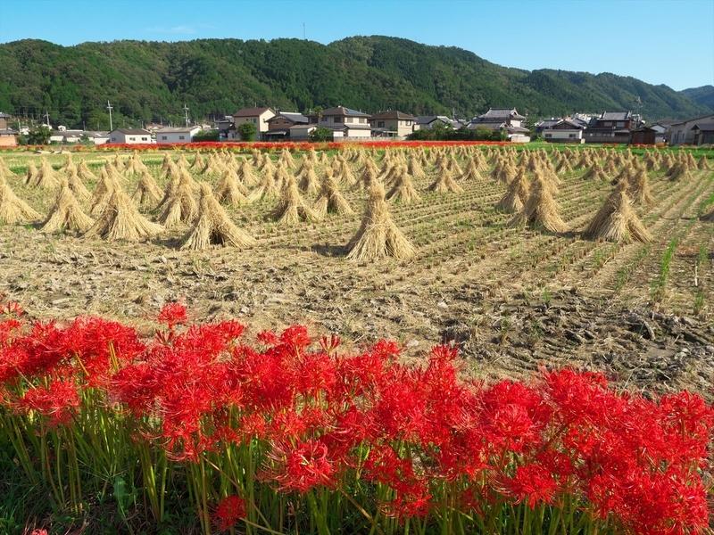 彼岸花に彩られた刈入れ終わった田んぼ@亀岡穴太寺付近
