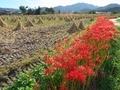 彼岸花咲く刈入れ終わった田んぼ@亀岡穴太寺付近