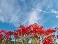 青空に生える彼岸花@亀岡穴太寺付近
