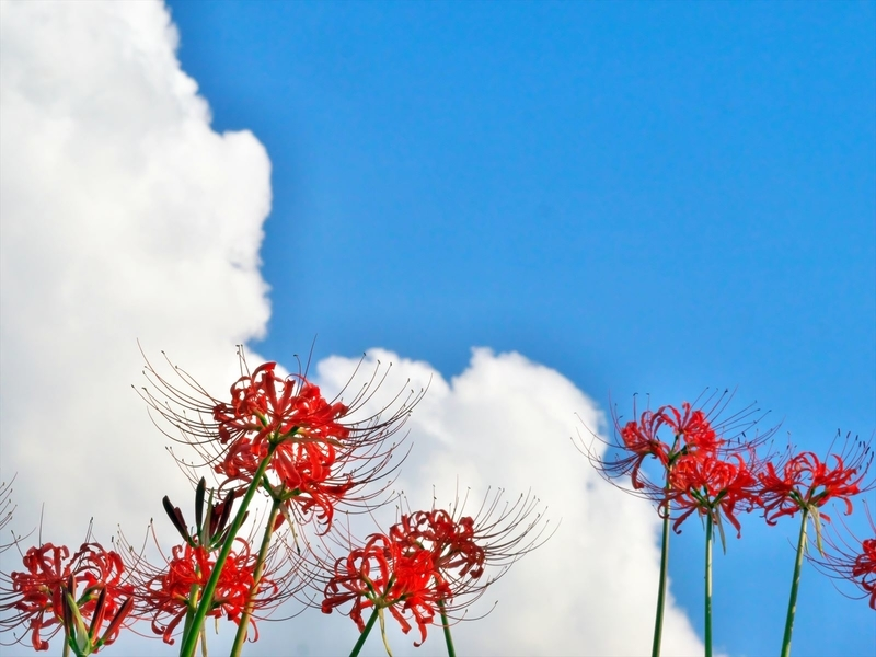 青い空・白い雲・赤い花@大原