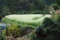 白い絨毯@京都水尾