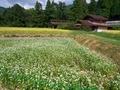 蕎麦の花@越畑