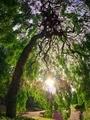 しだれツリー@京都府立植物園