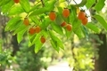 柿が色づくころ@京都府立植物園
