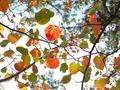 色とりどり(マルバノキ)京都府立植物園