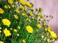 菊咲き始め@京都府立植物園