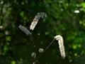 木漏れ日に咲くサラシナショウマ@京都府立植物園