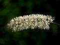 白いブラシ(サラシナショウマ)@京都府立植物園