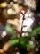 煌きのミズヒキ6@京都府立植物園