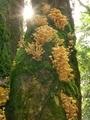 ナラタケ幼菌