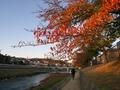 秋の桜並木@高野川畔