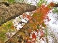 木を彩るつる植物@大原大見
