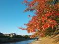 秋のソメイヨシノ@高野川