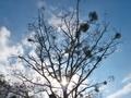 ヤドリギの目立つ裸木@八丁平