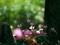 シクラメン@京都府立植物園
