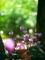 シクラメン3@京都府立植物園