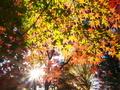 色づくモミジ@鷺森神社