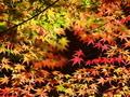 黒地に映える赤カエデ3@鷺森神社