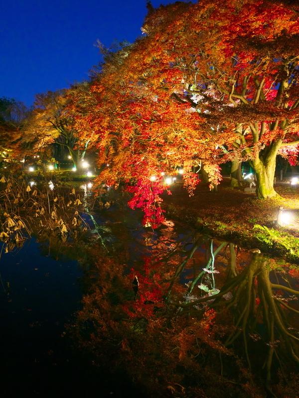 ブルーモーメントの紅葉ライトアップ@京都府立植物園