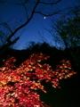 紅葉に寒月@京都府立植物園