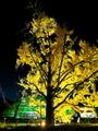 闇に浮かぶイチョウ黄葉@京都府立植物園