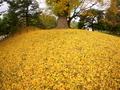 黄色の大地@京都御苑