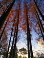 メタセコイヤ林に沈む太陽@京都府立植物園