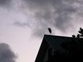 屋根の上のアオサギ@高野川