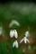 スノードロップ@京都府立植物園