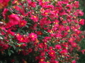 山茶花の壁@京都府立植物園