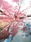 写りこむオカメ桜@長徳寺