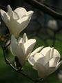 純白の花開く@京都御苑