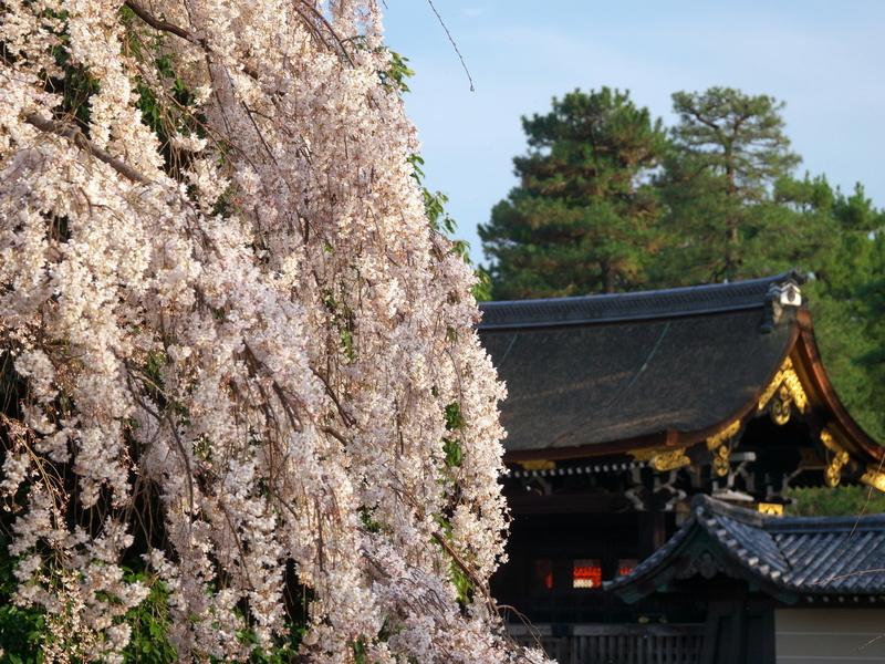 京都御苑の糸桜2