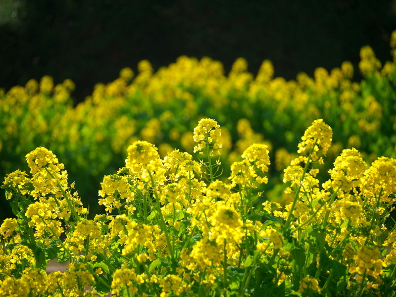 菜の花盛り@京都府立植物園