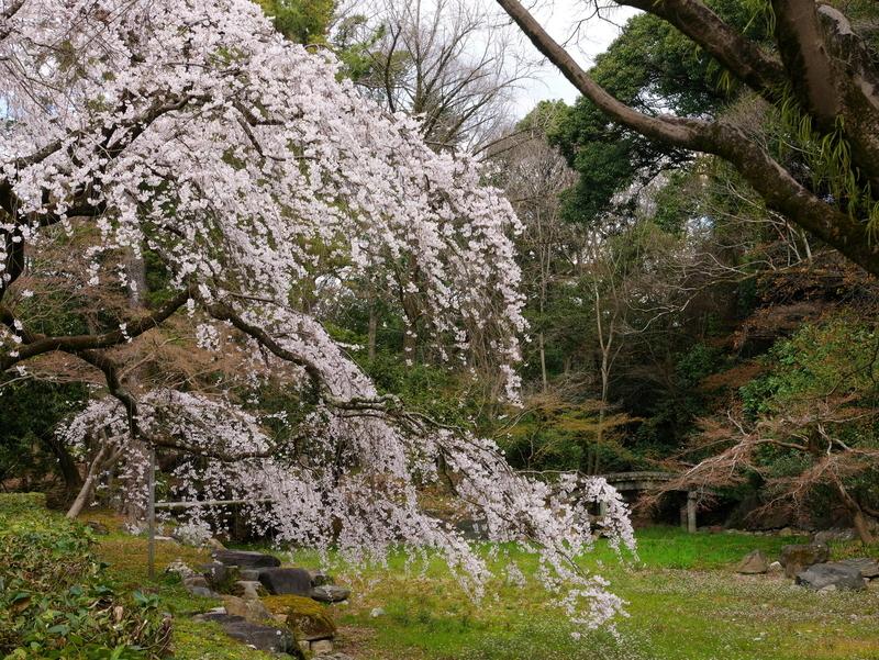 京都御苑近衛邸の糸桜