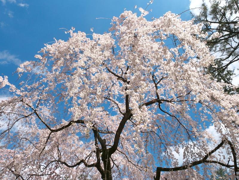 桜満開@京都御苑