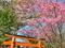 陽光桜@平野神社