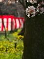 お花見準備中@平野神社