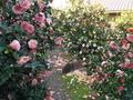 ツバキの苑@地蔵院