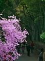 つつじ咲く嵐山竹林