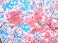 ピンク溢れる@若王子神社