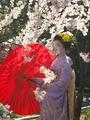 満開の桜の下で@上品蓮台寺