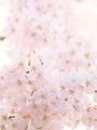 花に埋め尽くされて@立本寺