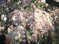 見上げる桜@京都御苑