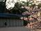 山桜咲く御苑の夕方@京都御苑