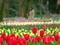 チューリップ2@京都府立植物園