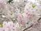 桜に包まれて@京都御苑
