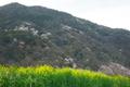 菜の花と嵐山