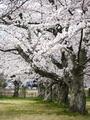 桜並木@嵐山